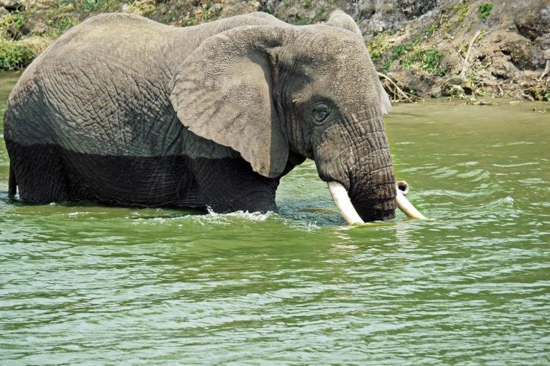 Eelephant swim play-Uganda-1535881_P
