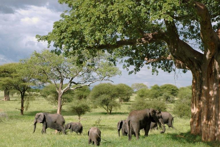 Elephants in National park, Tanzania