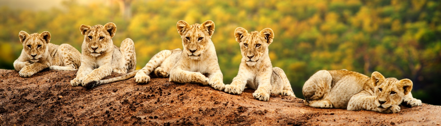 Group of lion cubs in Africa