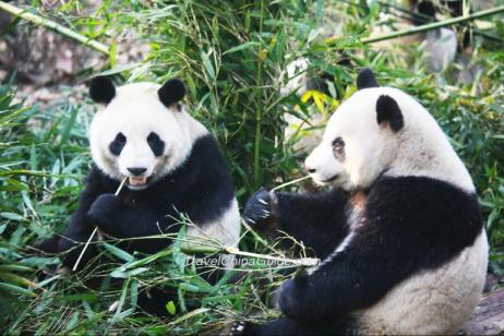 Follow Pandas' Footprint