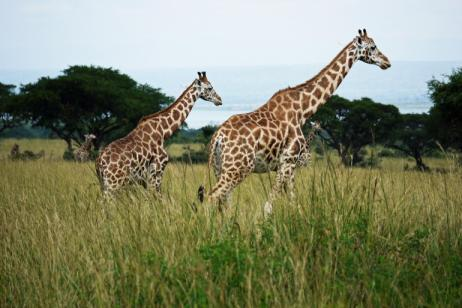 15 Days Best of Uganda Safari