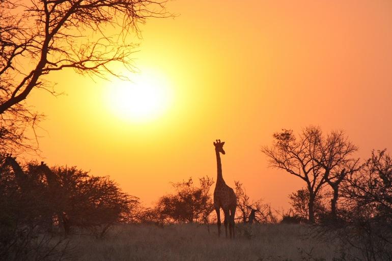 Luangwa Giraffe_Zambia_1042618_P