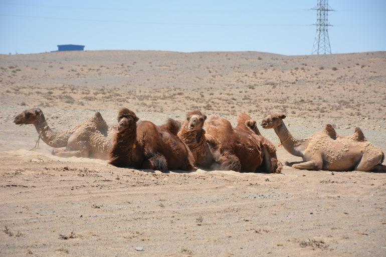 Camels in Gobi Desert-3563532_1920_P