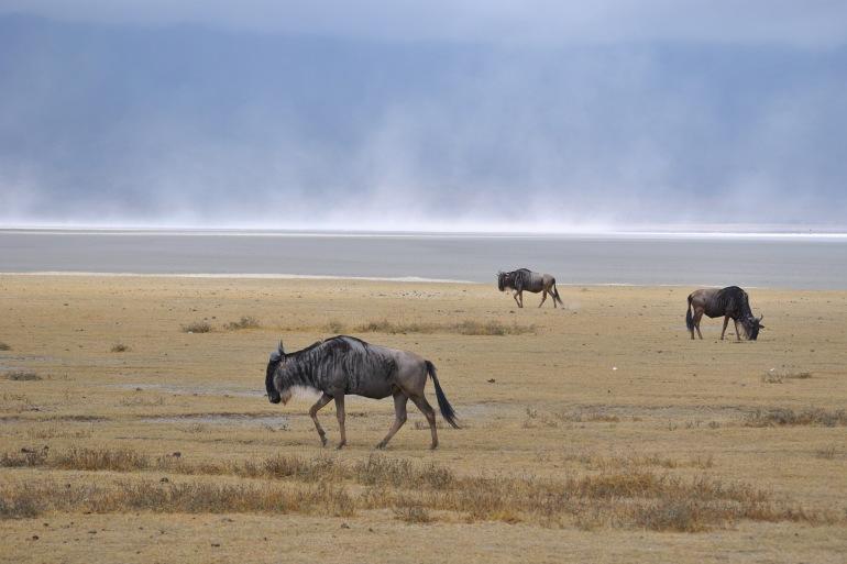 Wildbeast on the land_Ngorongoro-Africa-P
