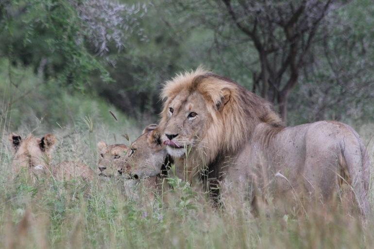 Lion africa-tanzania-222993-P