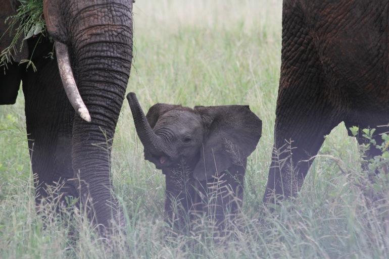 Elephant Family of Wilderness at Tarangire, Tanzania