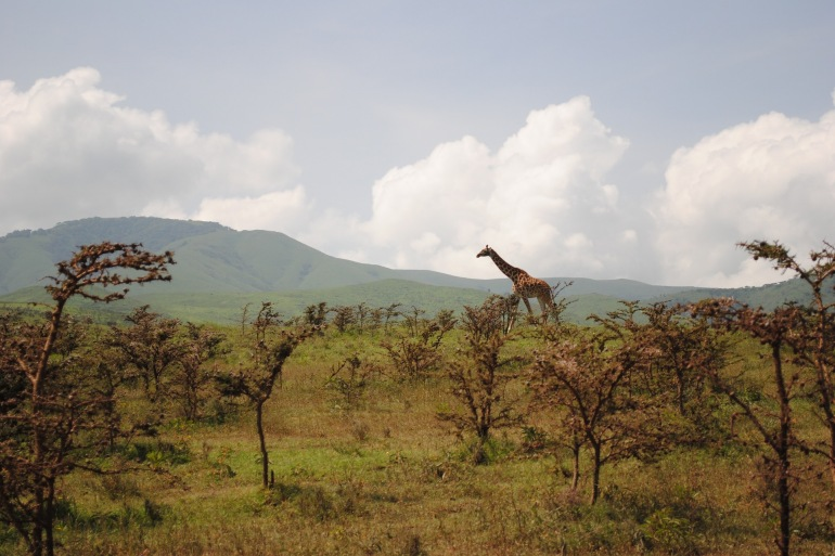Giraffe View at Serengeti, Tanzania