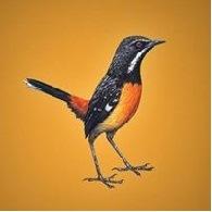 Rockjumper Birding