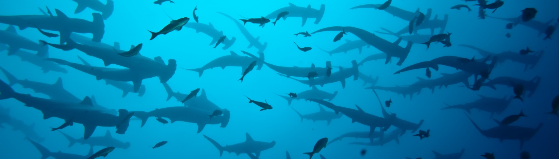 Hammerhead sharks in the Galapagos