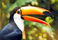 Toucan close up in Central America