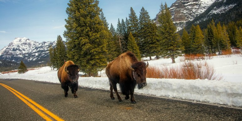 Buffalo on the road in Yellowstone National Park