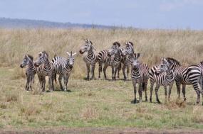 6 Days Lake Manyara, Ngorongoro Conservation, Serengeti and Tarangire National Park