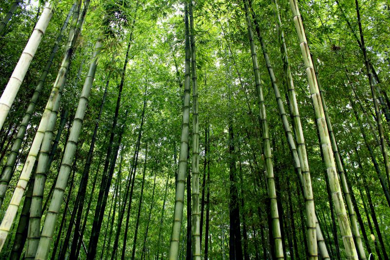 Bamboo Forest, China