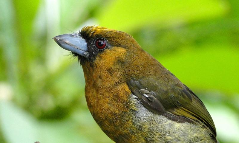 Costa Rica Wildlife: Prong-billed barbet