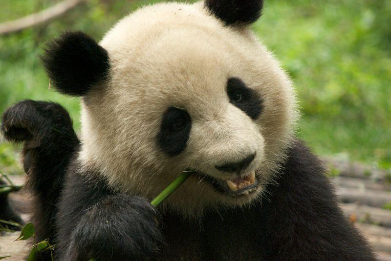 Chendu Panda Reserve