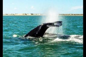 Gray Whale Watching tour