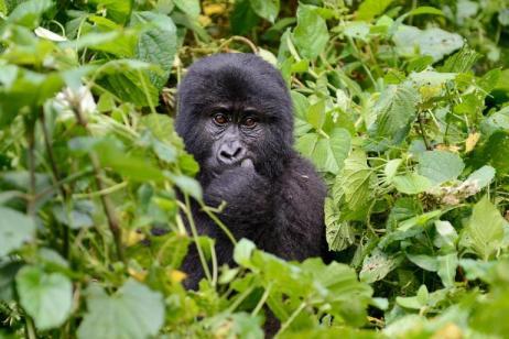 Chimps & Gorillas of Uganda tour