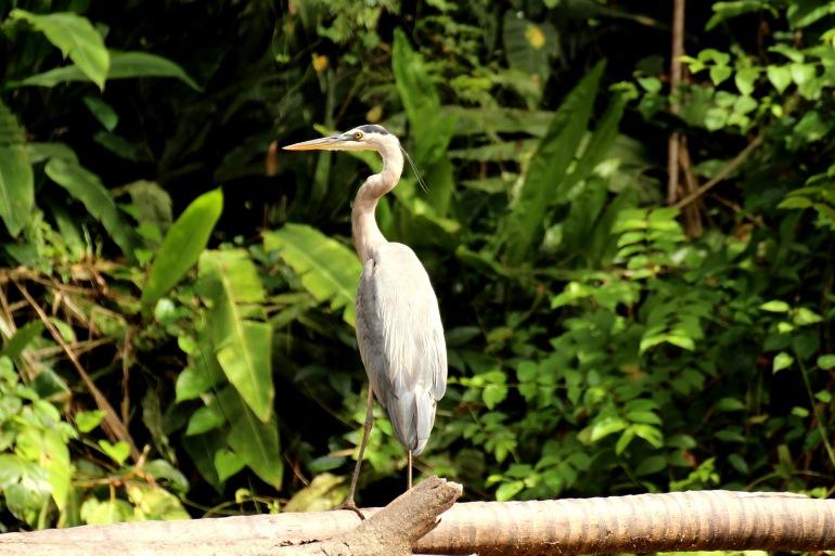 Heron at Tortuguero, Costa Rica_P