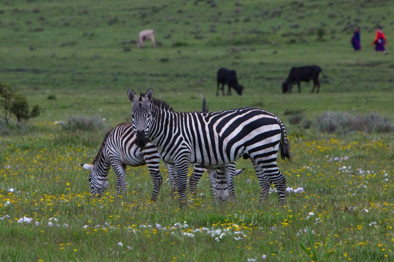 Wildernees Zebras at Ngorongoro Conservation Area, Tanzania