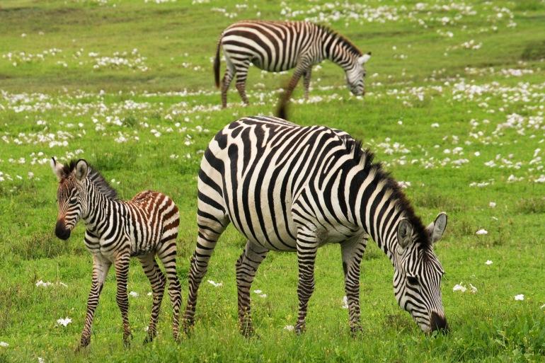 Wildlife Safari Zebra-Tanzania_75885_1920_P
