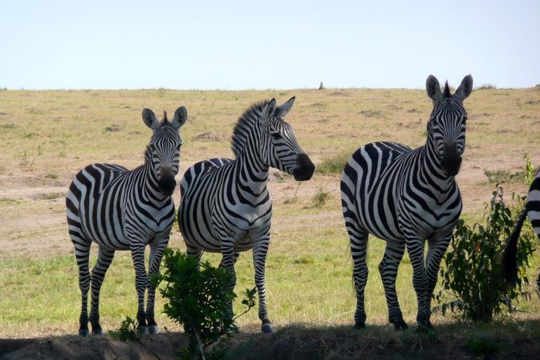 Zebras and Nature View at Masai Mara, Kenya