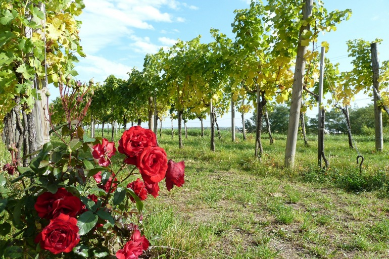 Vineyard near River Danube-Europe_257394_P.jpg