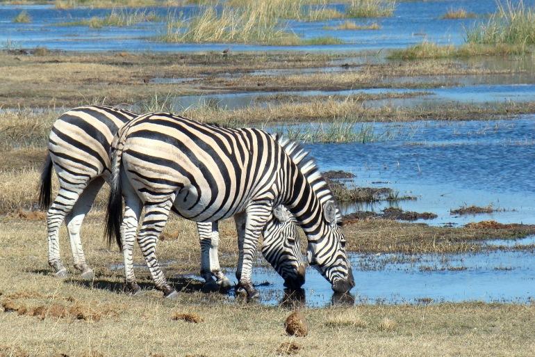 Zebras at Botswana, South Africa