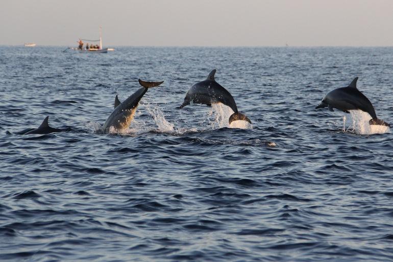 Dolphins in Island-Croatia-p