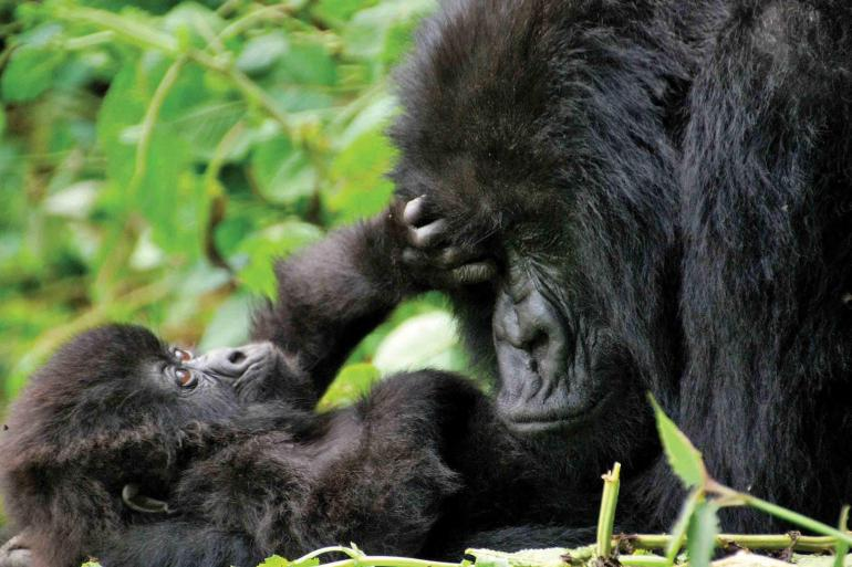 Mountain Gorilla Safari: Tanzania, Zanzibar & Rwanda 2020 tour