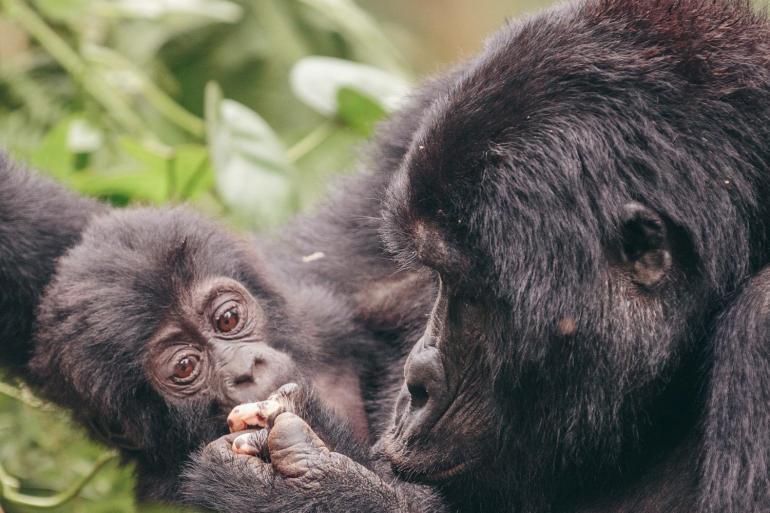 Gorillas & Game Parks tour