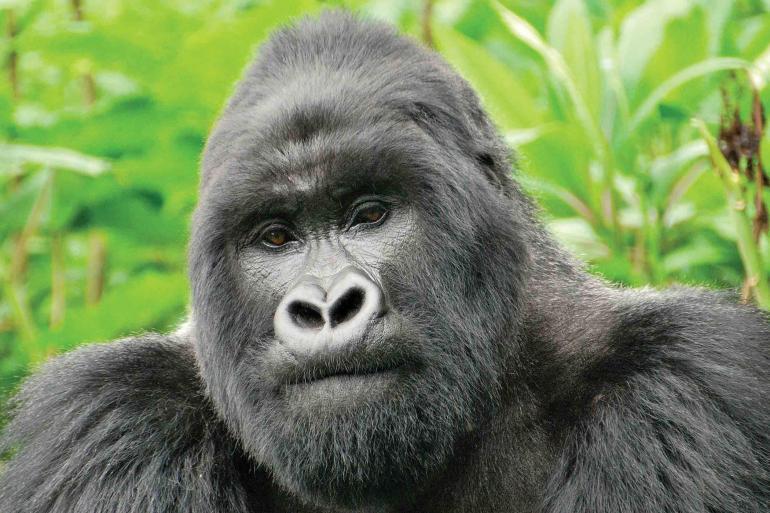 Mountain Gorilla Safari: Kenya, Tanzania & Rwanda 2020 tour