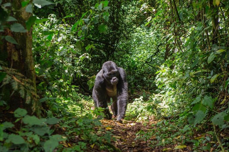 Glimpse Of Gorillas tour