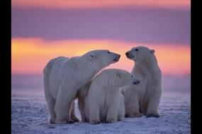 Realm of the Polar Bear in Depth - M/S Spitsbergen tour