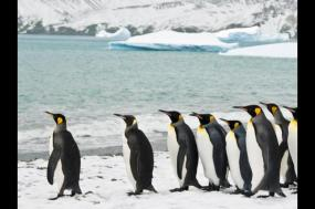 King Penguins of the Falklands and South Georgia - Expedition  tour