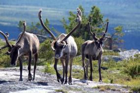 Reindeer Spring Migration tour