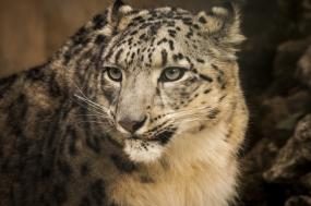 Snow Leopards—Snow Mountains Fundraising Trek tour
