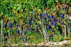 California Wine Country Walking Tour tour