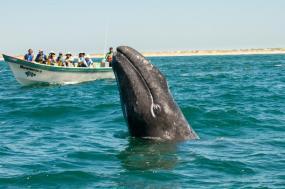 Baja Whale Camp & Kayak tour
