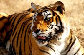 India – Tiger Volunteer Adventure