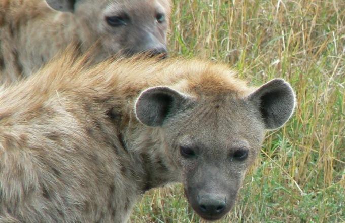 Kenya: From Hyenas To Humpbacks  tour