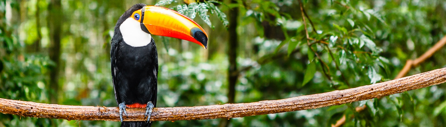 Toucan in rain forest with tree and foliage on Tucan Travel tour