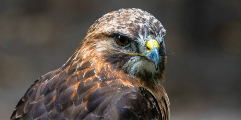 Close up of buzzard