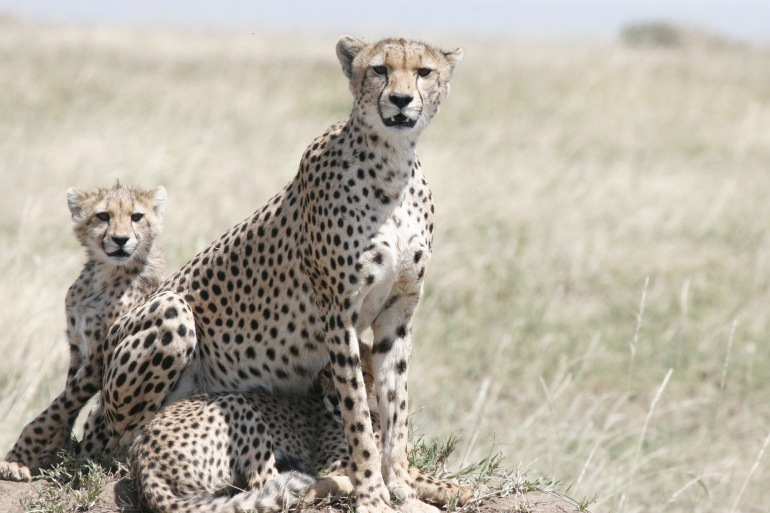 Cheetahs at Tanzania, East Africa