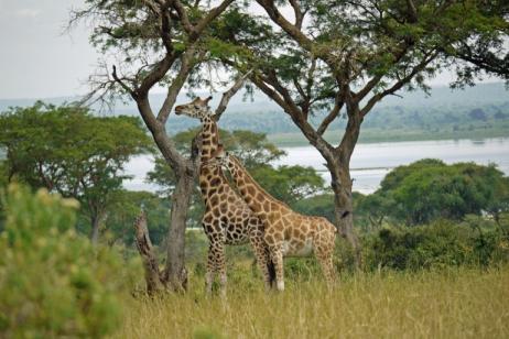 8 Days Uganda Birding Tour - Murchison Falls & Budongo Forest tour