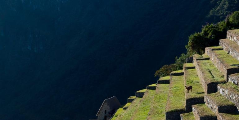 Llama against Machu Picchu steps and mountainside