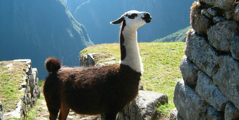 Llama close up at Machu Picchu