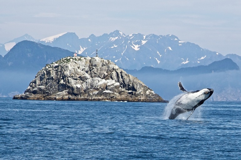 Humpback Whale at Kenai Fjords National Park, United States