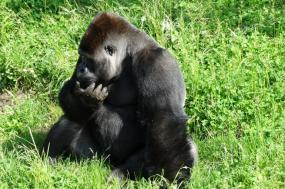 4 Days Bwindi Gorillas & Ngamba Chimps