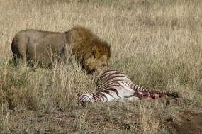 5 Days Kenya Safari Ol Pejeta / Lake Nakuru / Masai Mara