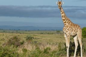 8 Days Murchison Falls, Chimpanzee And Gorilla Tracking Safari Uganda